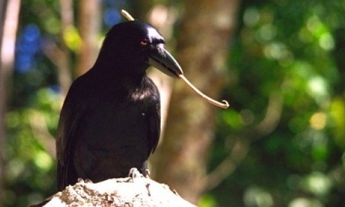 Comparative genetics in the cognitive ability of crows