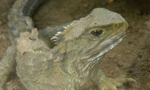 Sequencing a living fossil – the tuatara genome project